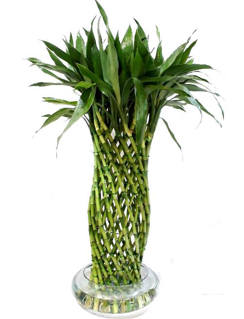 lucky bamboo, irania floristeria bogota
