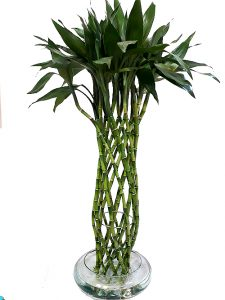 »   Lucky Bamboo  (16 Tallos)