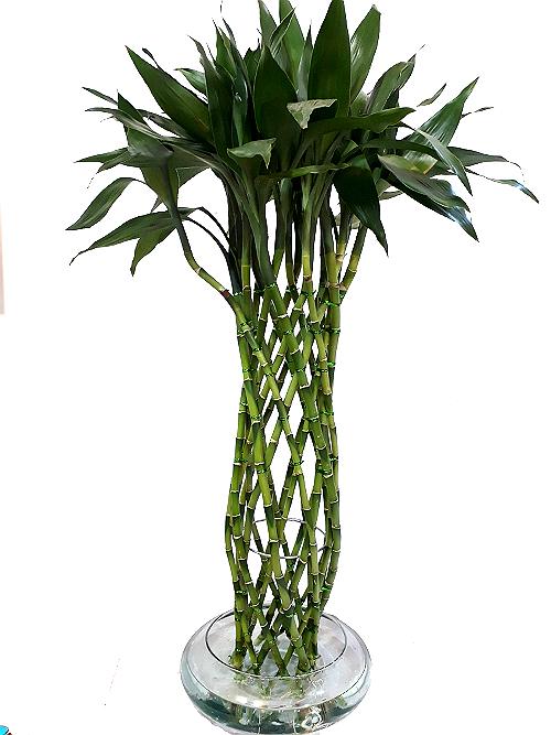 lucky bamboo irania floristeria bogota